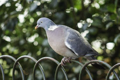 Grey dove perched on wire fence. Closeup of a grey dove or pigeon perched on the arched top of a wire fence against foliage Stock Image