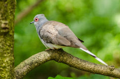 Grey Dove. Picture for background or wallpaper Stock Photos