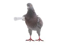 Grey dove Stock Photos