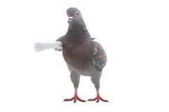 Grey dove Stock Photos