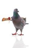 Grey dove Royalty Free Stock Photo