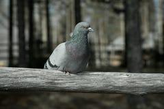 Grey dove Royalty Free Stock Image