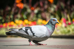 Grey dove. On smooth colored background Royalty Free Stock Photos