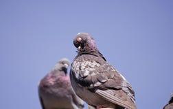 Grey doves and blue sky Stock Photos