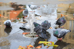 Grey doves near fountain, townhall reflection Stock Photography