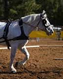Grey draft horse. Side view of a grey draft horse in leather bridle, blinders and driving harness competing in a hitch class stock photo