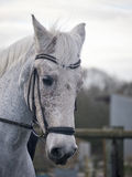 Grey dressage horse being ridden in a snaffle bridle Stock Images