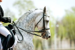 Grey dressage horse portrait in summer Stock Photography