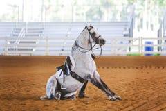 Grey dressage horse sitting