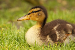 Grey Duck Baby Royalty Free Stock Photos