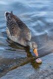 Grey Duck Looking alla piccola ciambella Fotografia Stock Libera da Diritti