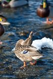 Grey duck in river winter sunny day Royalty Free Stock Photo