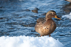 Grey duck in river winter sunny day Stock Image