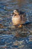 Grey duck in river winter sunny day Stock Photos