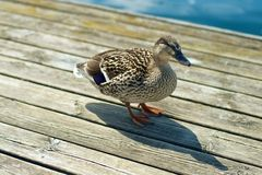 Grey duck. Sitting on pier Stock Images