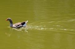 Grey Duck sul lago Fotografie Stock Libere da Diritti