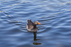 Grey Duck Swimming Photo libre de droits