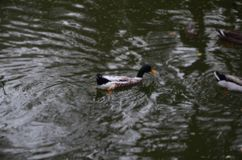 Duck in the water royalty free stock images