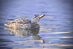 A grey duck on water Stock Photography