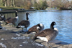 Grey Ducks at the Public Lister Park lake in Bradford England Stock Photos