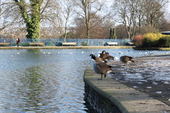 Grey Ducks & Swans at the Public Lister Park lake in Bradford England Stock Photos