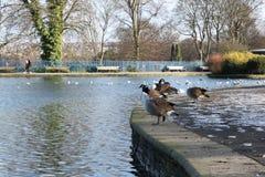 Grey Ducks y los cisnes en el Lister público parquean el lago en Bradford England Fotos de archivo