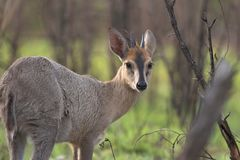 Grey Duiker Royalty Free Stock Photography