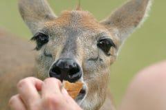 Grey duiker. Portrait of Hand feeding Grey Duiker in Africa Stock Photos