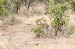 Grey Duiker in Kruger Park South Africa Royalty Free Stock Image
