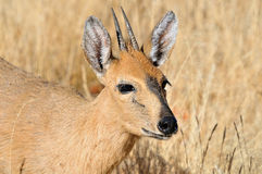 Grey duiker Royalty Free Stock Image