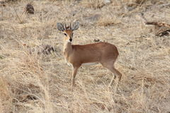 Grey Duiker. (Sylvicapra grimmia).Taken in Krugar National Park, South Africa Royalty Free Stock Photo