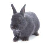 Grey dwarf  fluffy rabbit. Isolated, white background Stock Images