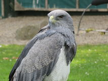Grey Eagle Buzzard Arkivfoto
