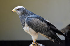 Grey Eagle Buzzard Stockbilder