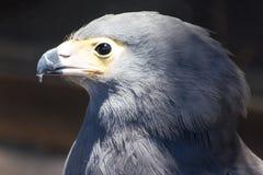 Grey Eagle Stock Photo