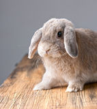Grey Easter bunny is listening Stock Photo