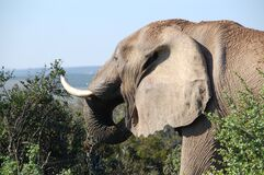 Grey Elephant by the Bushes at Mountain Top during Daytime Stock Photography