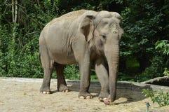 Grey elephant Stock Image