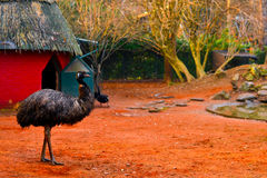 Grey emu bird having a walk in a colorful red - orange, natural, inhabited, zoo environment Stock Photo