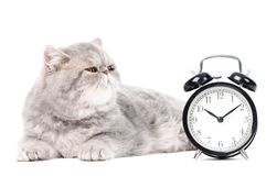 Grey exotic kitty cat and clock. One lying grey exotic shorthair kitten cat isolated on white with clock royalty free stock images