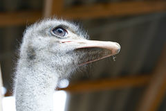 Grey eyed ostrich head Stock Images