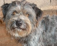 Grey Face Wire Haired Terrier Dog Royalty Free Stock Photography