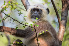 Grey Faced Langoor Stock Images