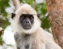 A Grey faced Langur monkey close up Stock Images