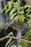 Grey-faced liocichla Stock Photography