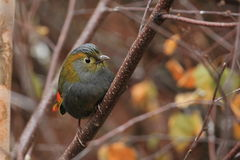Grey-faced liocichla Royalty Free Stock Photos