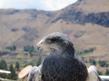 Grey Falcon Image stock