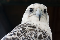 Grey Falcon Royalty Free Stock Photo