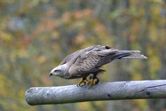 Grey Falcon Perched on Grey Branch in Selective Focus Photography Stock Photo