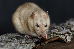 Grey fancy rat eating nut on dark background Royalty Free Stock Images